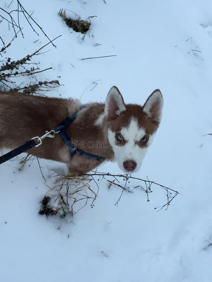 Chien de traîneau dans la neige photo libre de droits