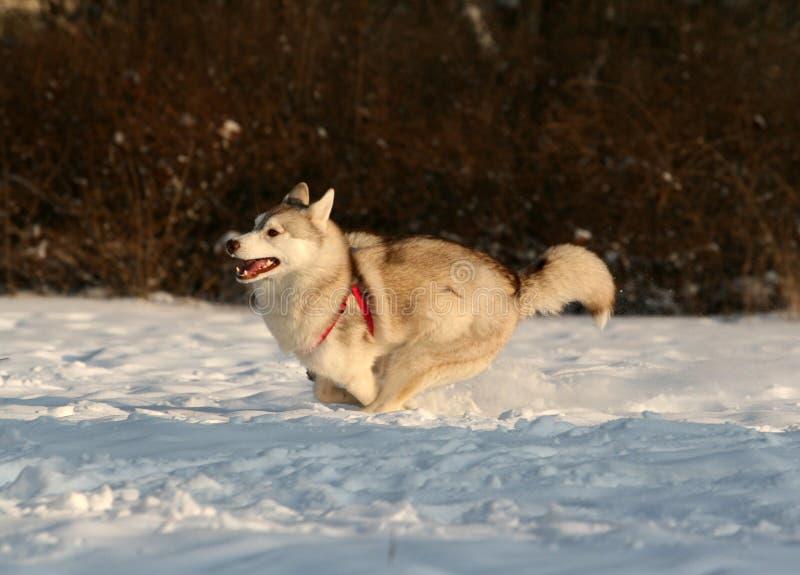 Chien de traîneau sibérien photos libres de droits
