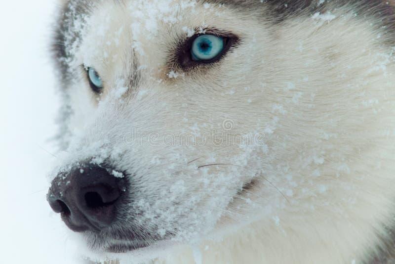 Chien de traîneau sibérien photographie stock libre de droits