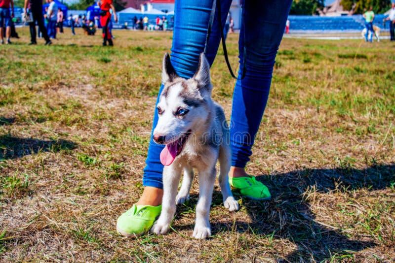 Chien de traîneau sibérien avec l'oeil bleu à l'herbe verte Chiot de crabot de chien de traîneau sibérien photos stock