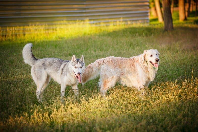 Chien de traîneau sibérien et chiens d'arrêt d'or reposant le parc photos stock