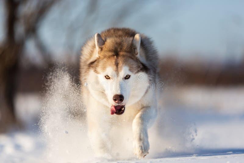 Chien de tra?neau sib?rien fou, heureux et beau de race beige et blanche de chien fonctionnant rapidement sur la neige dans le do image libre de droits