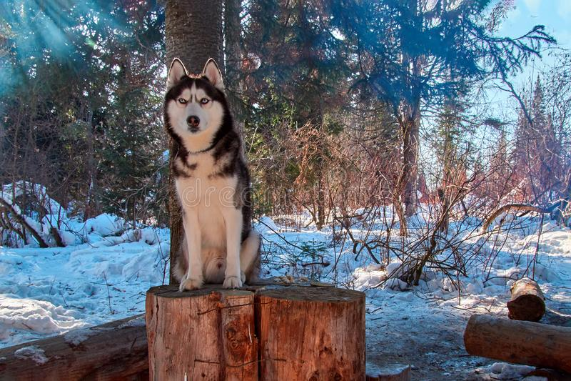 Chien de traîneau sibérien de portrait se reposant sur le tronçon dans le paysage couvert de neige de forêt de forêt d'hiver avec image stock