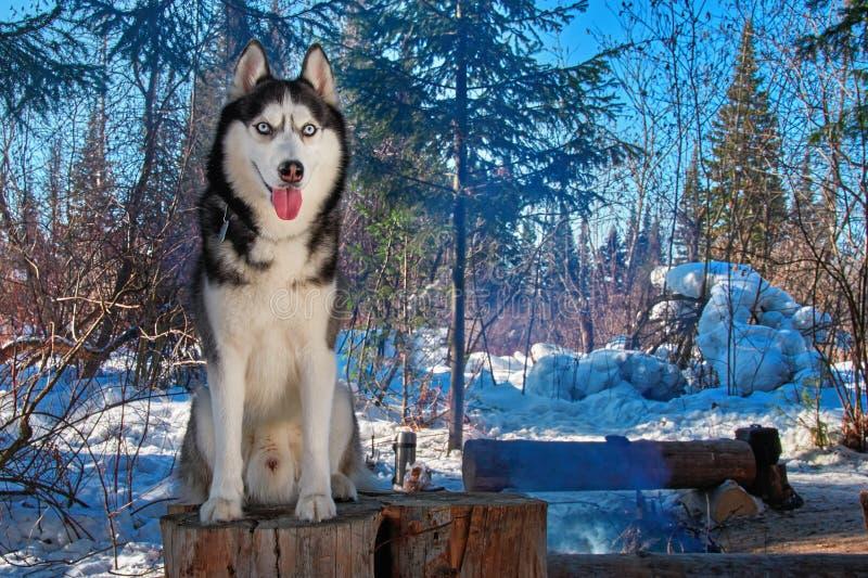 Chien de traîneau sibérien de portrait se reposant sur le tronçon dans le paysage de forêt de neige de forêt d'hiver avec le chie photographie stock libre de droits