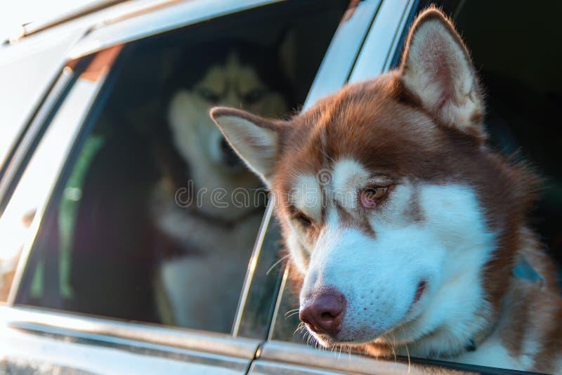 Chien de chien de traîneau sibérien regardant l'espace de copie Portrait de plan rapproché dans la fenêtre de voiture images stock
