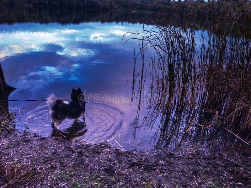 Chien de traîneau de Sibirian dans l'eau magenta bleue avec la réflexion gentille photographie stock libre de droits