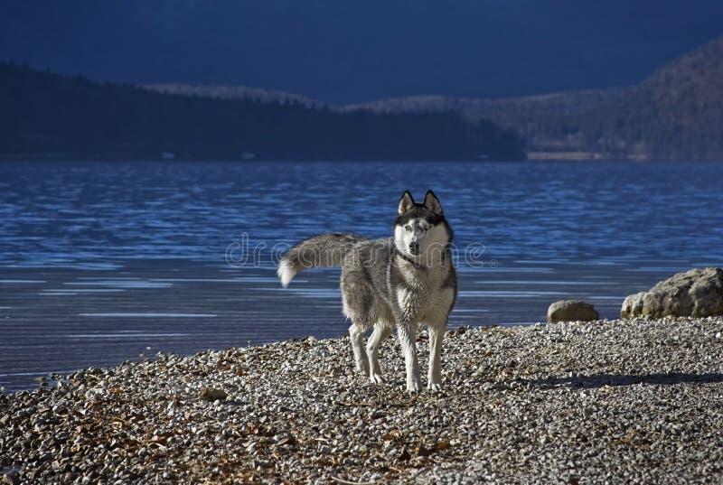 Chien de traîneau sur a lakeshore photographie stock libre de droits