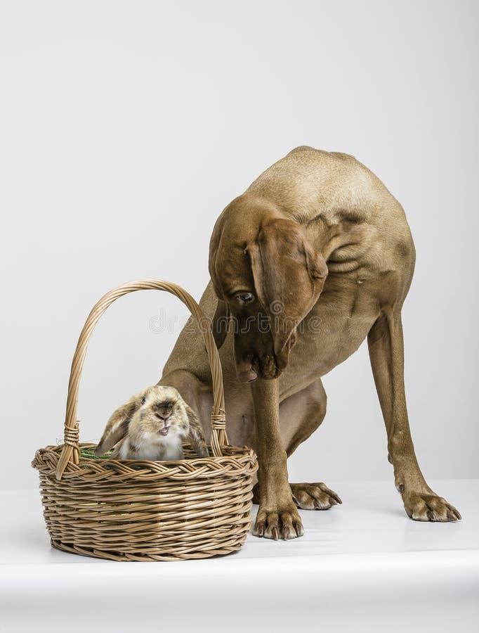 Chien de Vizsla avec le lapin image libre de droits