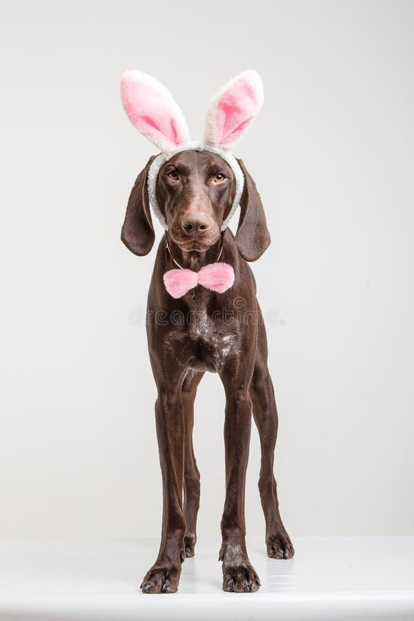 Chien de Vizsla comme lapin de Pâques photos libres de droits
