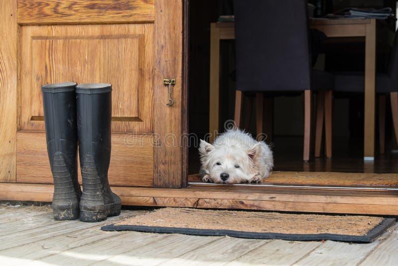 Chien de westie de terrier blanc de montagne occidentale d'aîné se trouvant sur le looki de tapis photos libres de droits