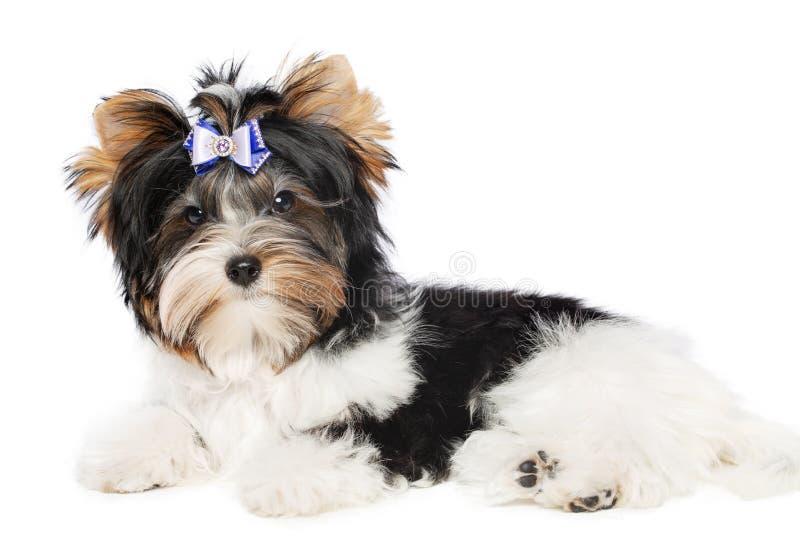 Chien de York de biver de Yorkshire Terrier d'isolement sur le fond noir photo stock