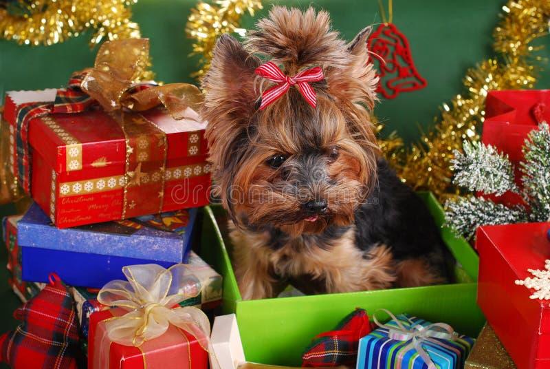 Chien de Yorkshire dans le boîte-cadeau de Noël photos stock