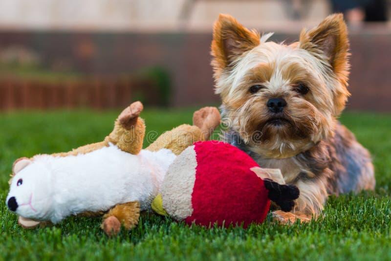 Chien de Yorkshire Terrier image stock