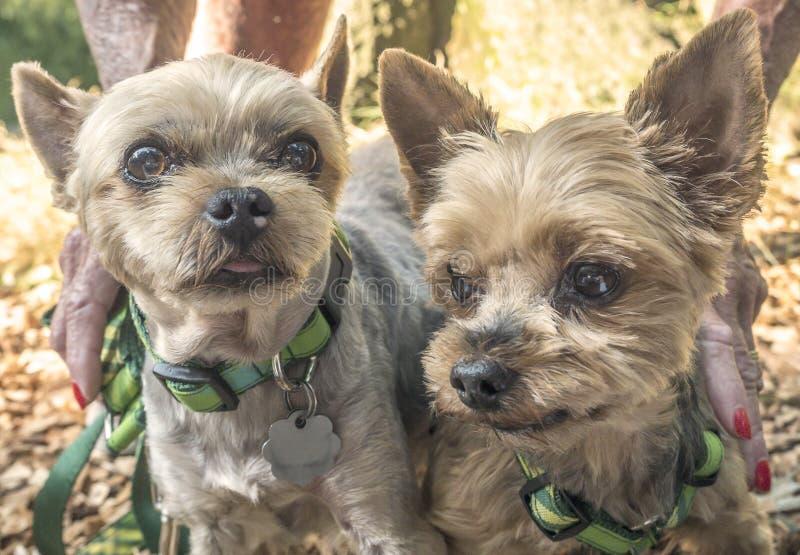 Download Chien de Yorkshire Terrier image stock. Image du petit - 76075993