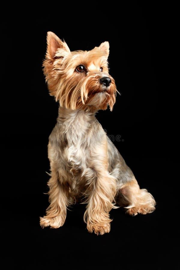 Chien de Yorkshire Terrier d'isolement sur le fond noir photographie stock