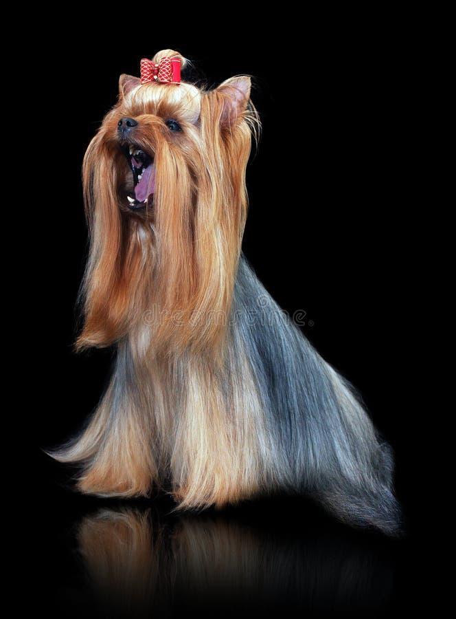 Chien de Yorkshire Terrier de plan rapproché se tenant sur le backgroun noir de miroir photo libre de droits
