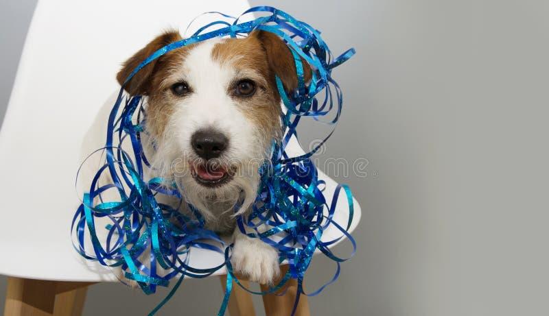 Chien drôle célébrant la nouvelle année, l'anniversaire ou canival avec les serpentines bleues se reposant sur une chaise blanche image libre de droits