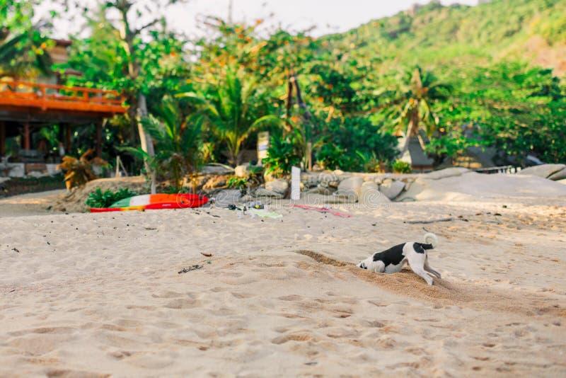 Chien drôle creusant un trou dans le sable sur la plage Rebecca 36 images libres de droits
