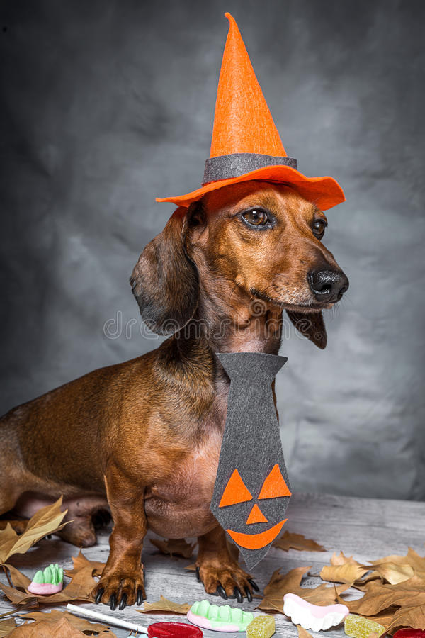 Chien dr le de teckel habill pour halloween photo stock - Image halloween drole ...