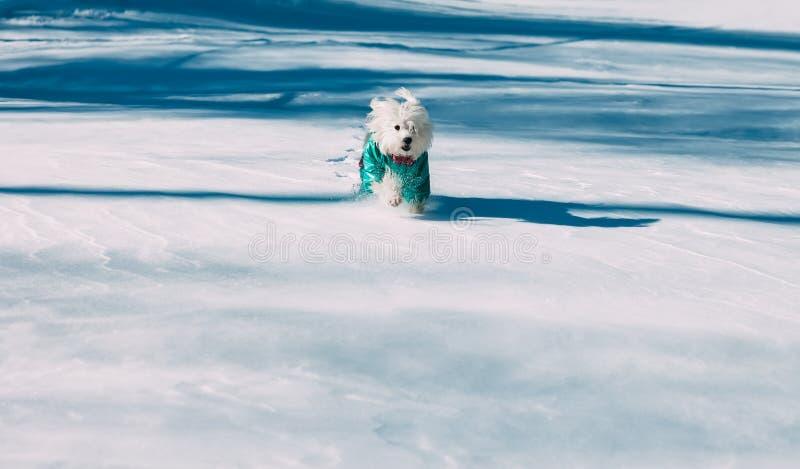 Chien drôle fonctionnant dans la neige sur le parc d'hiver image libre de droits