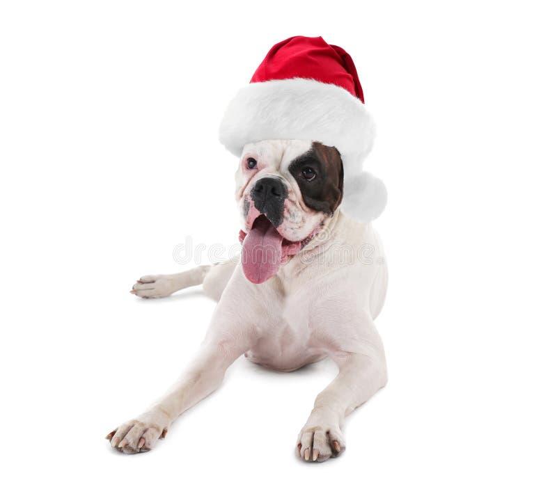 Chien dr?le mignon dans le chapeau de Santa sur le fond blanc images libres de droits