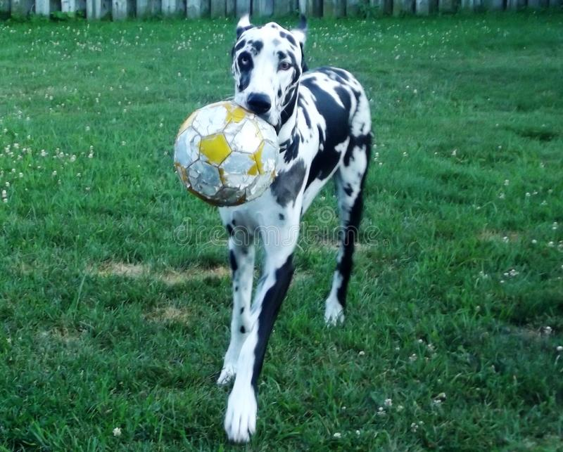Chien du football images stock