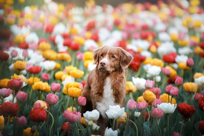 Chien en fleurs de tulipe Animal familier en été en nature Toller images stock