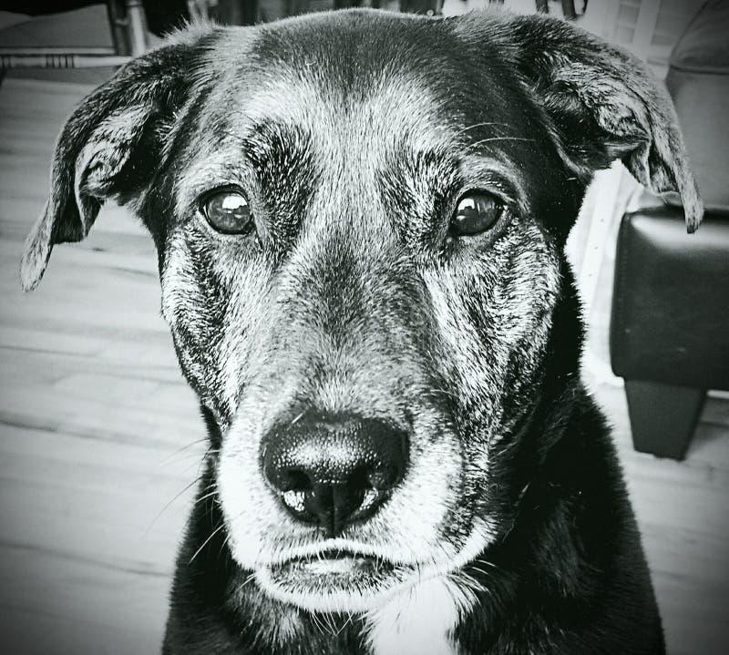 chien en noir et blanc photographie stock libre de droits