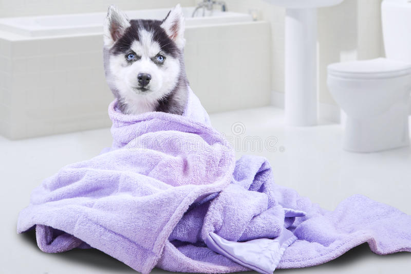 Chien enroué avec la serviette dans la salle de bains photos libres de droits