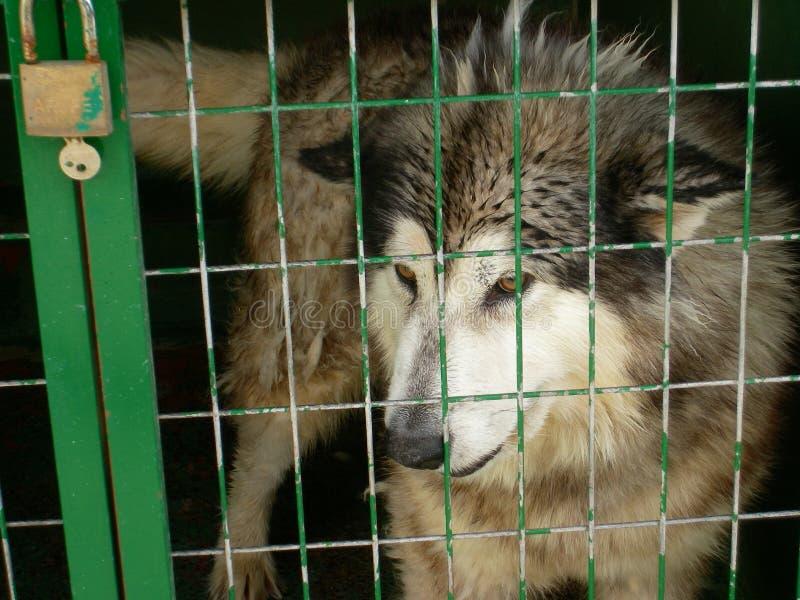 Chien enroué dans un abri de chien images libres de droits