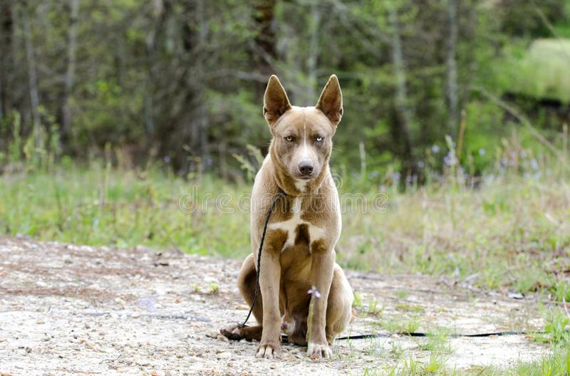 Chien enroué de mélange de chien de pharaon avec une séance d'oeil bleu photo libre de droits