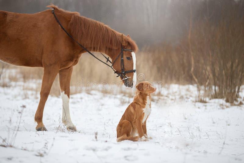 Chien et cheval, cheval rouge et chien rouge marchant dans le domaine dans la victoire photo stock