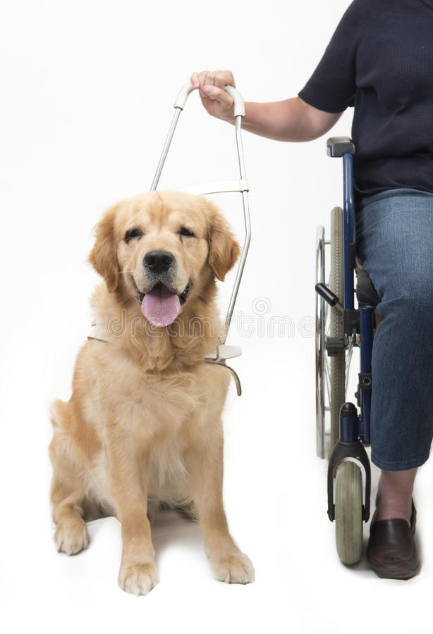 Chien et fauteuil roulant de guide d'isolement sur le blanc photographie stock libre de droits