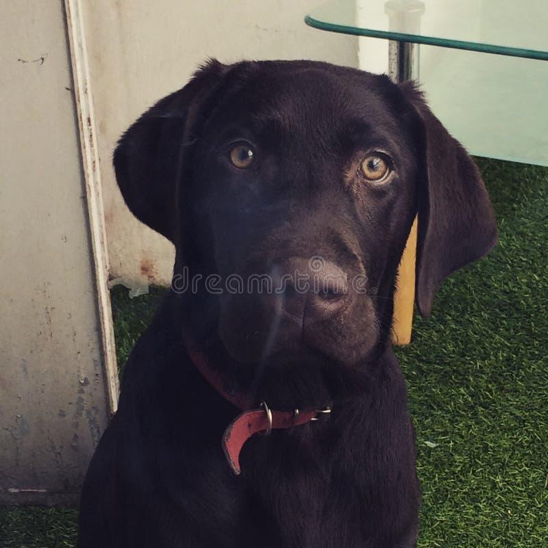 Chien för hundlabradorvalp hundkapplöpning arkivfoton