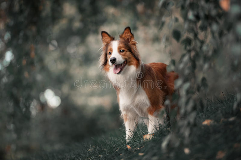 Chien fier de border collie photos libres de droits