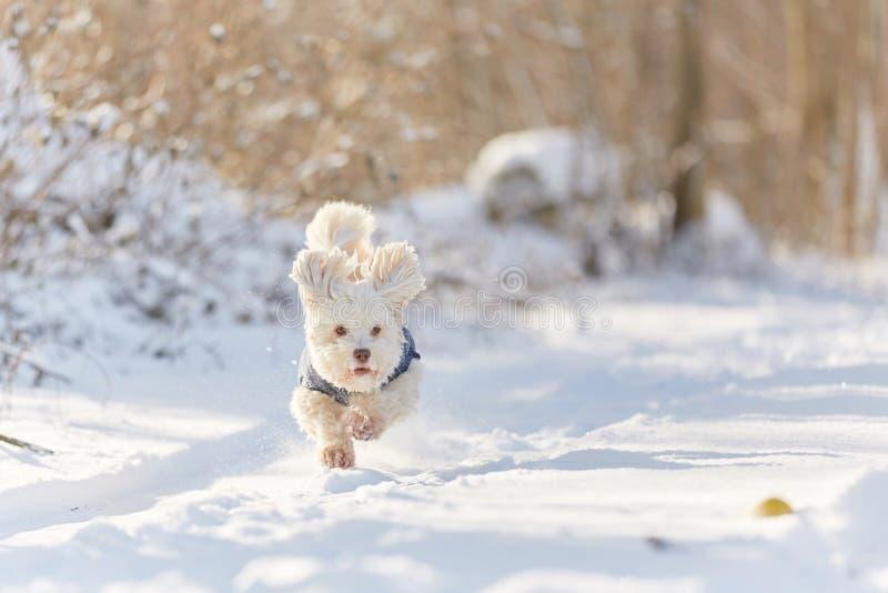 Chien havanese blanc fonctionnant dans la neige photographie stock libre de droits