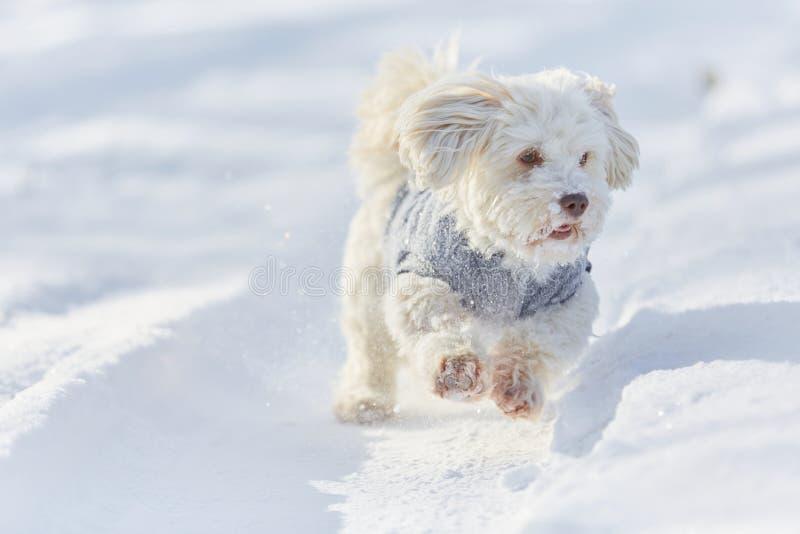 Chien havanese blanc fonctionnant dans la neige photo libre de droits