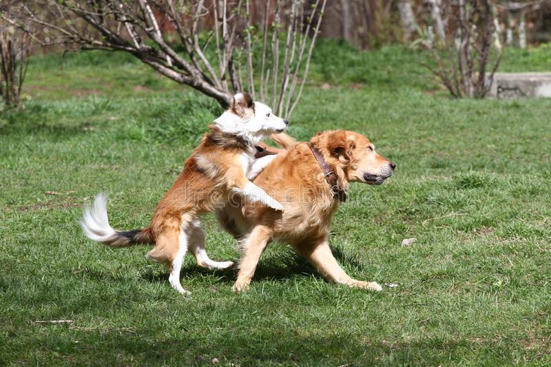 Chien Heure de source et d'été Les chiens fonctionnent sur un pré en nature sur une lumière du jour Crabot heureux Jeu de chiens  photos libres de droits