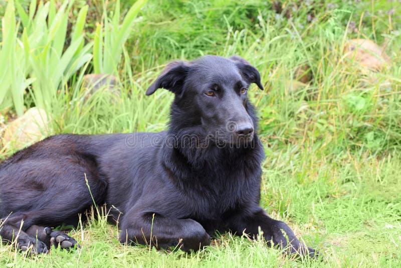 Chien heureux beau labrador retriever se trouvant sur l'herbe pendant l'été images stock