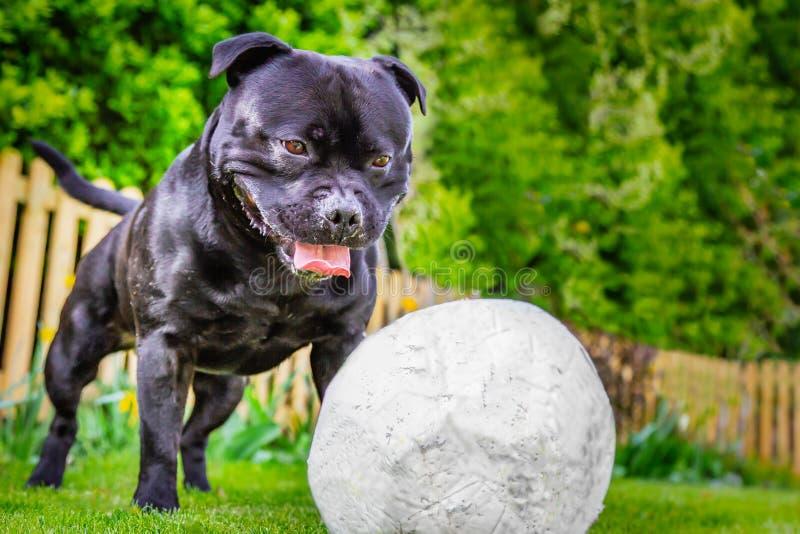 Chien heureux de bull-terrier du Staffordshire regardant fixement un football légèrement dégonflé, le football attendant pour photos stock