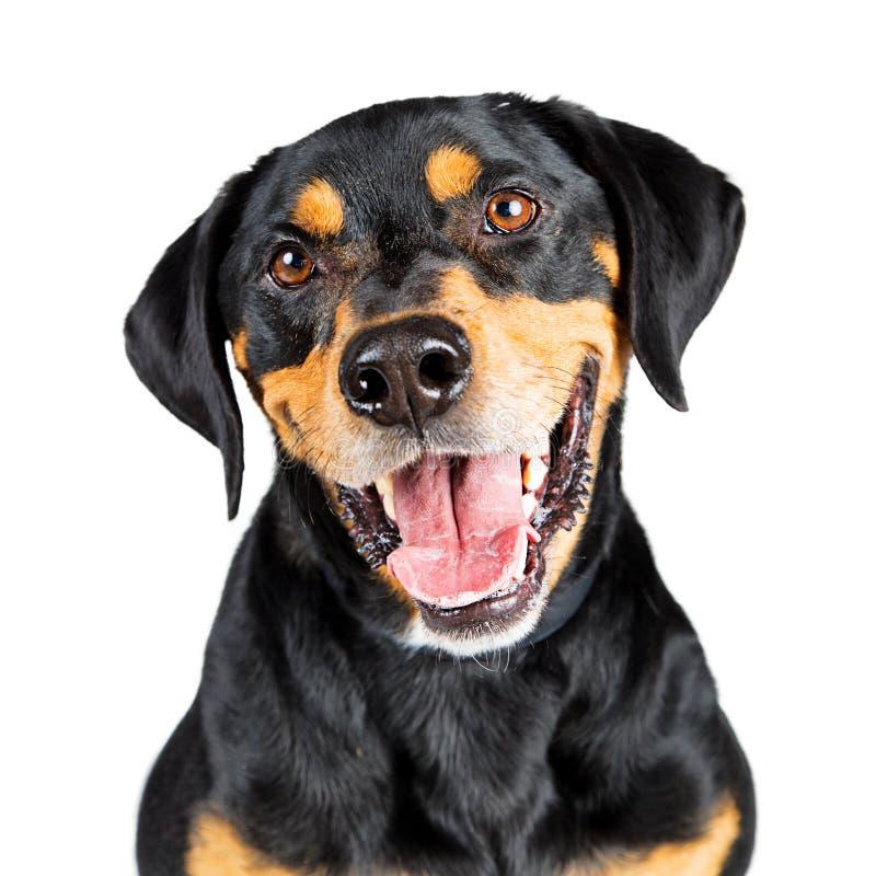 Chien heureux de croisement de rottweiler de portrait de plan rapproché images libres de droits