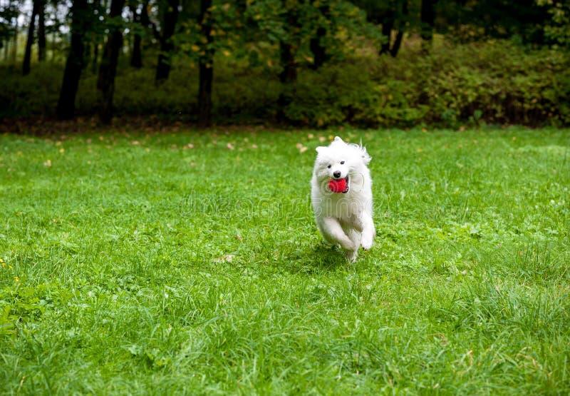 Chien heureux de Samoyed fonctionnant sur l'herbe Boule rouge dans la bouche photographie stock libre de droits