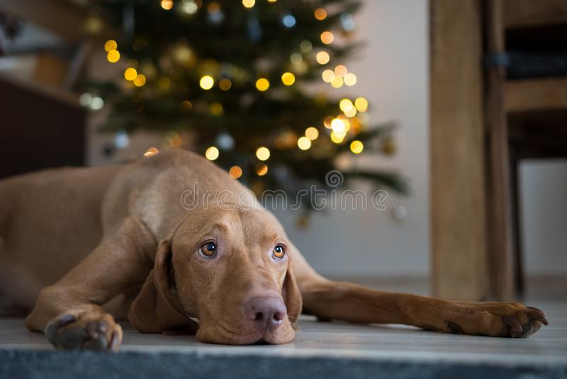 Chien hongrois de vizsla d'indicateur de chien sous l'arbre de christmass photographie stock