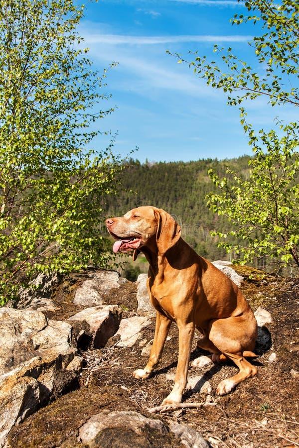 Chien hongrois Vizsla sur une roche chez le chien de chasse de for?t dans le chien de for?t sur la chasse images libres de droits