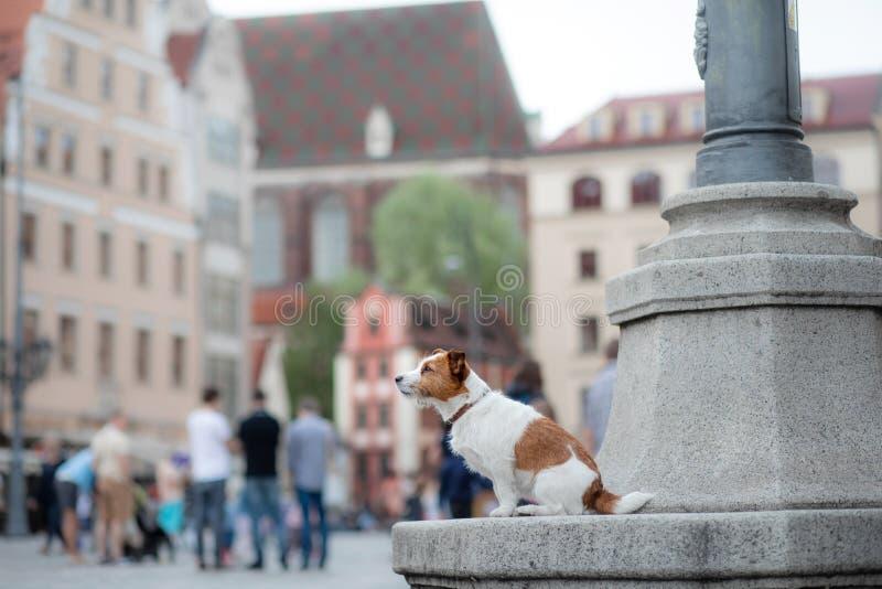 Chien Jack Russell Terrier dans la vieille ville Promenade avec votre animal familier photos libres de droits