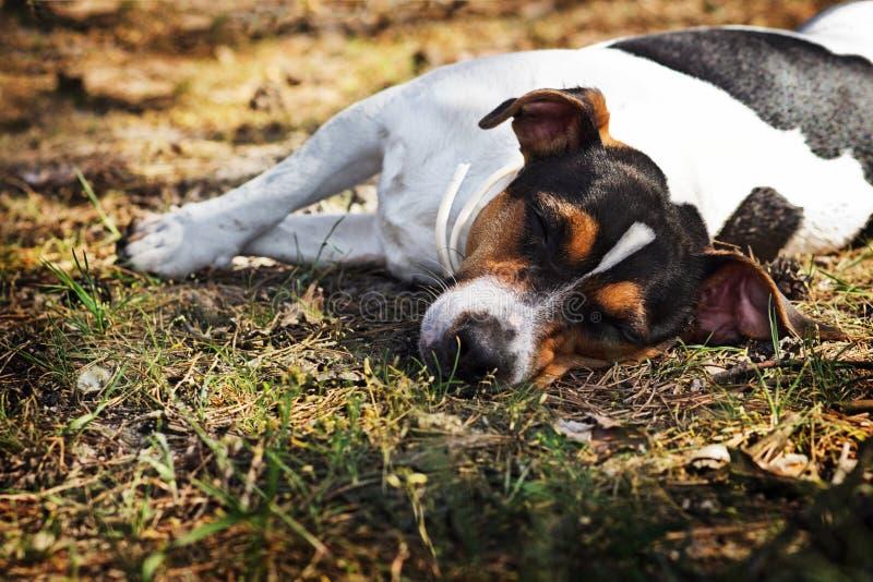 Chien Jack Russell Terrier de sommeil dans la forêt photo libre de droits