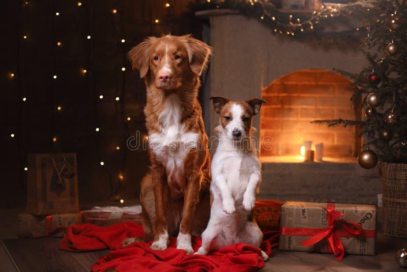 Chien Jack Russell Terrier et chien Nova Scotia Duck Tolling Retriever Bonne année, Noël photos stock