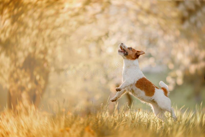 Chien Jack Russell Terrier sautant dans l'herbe image libre de droits