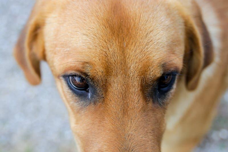 Chien jaune et yeux photographie stock