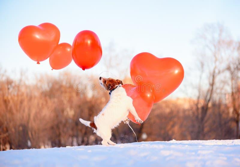 Chien jouant avec beaucoup de ballons à air au beau jour de février en tant que concept de vacances de Saint-Valentin photo libre de droits
